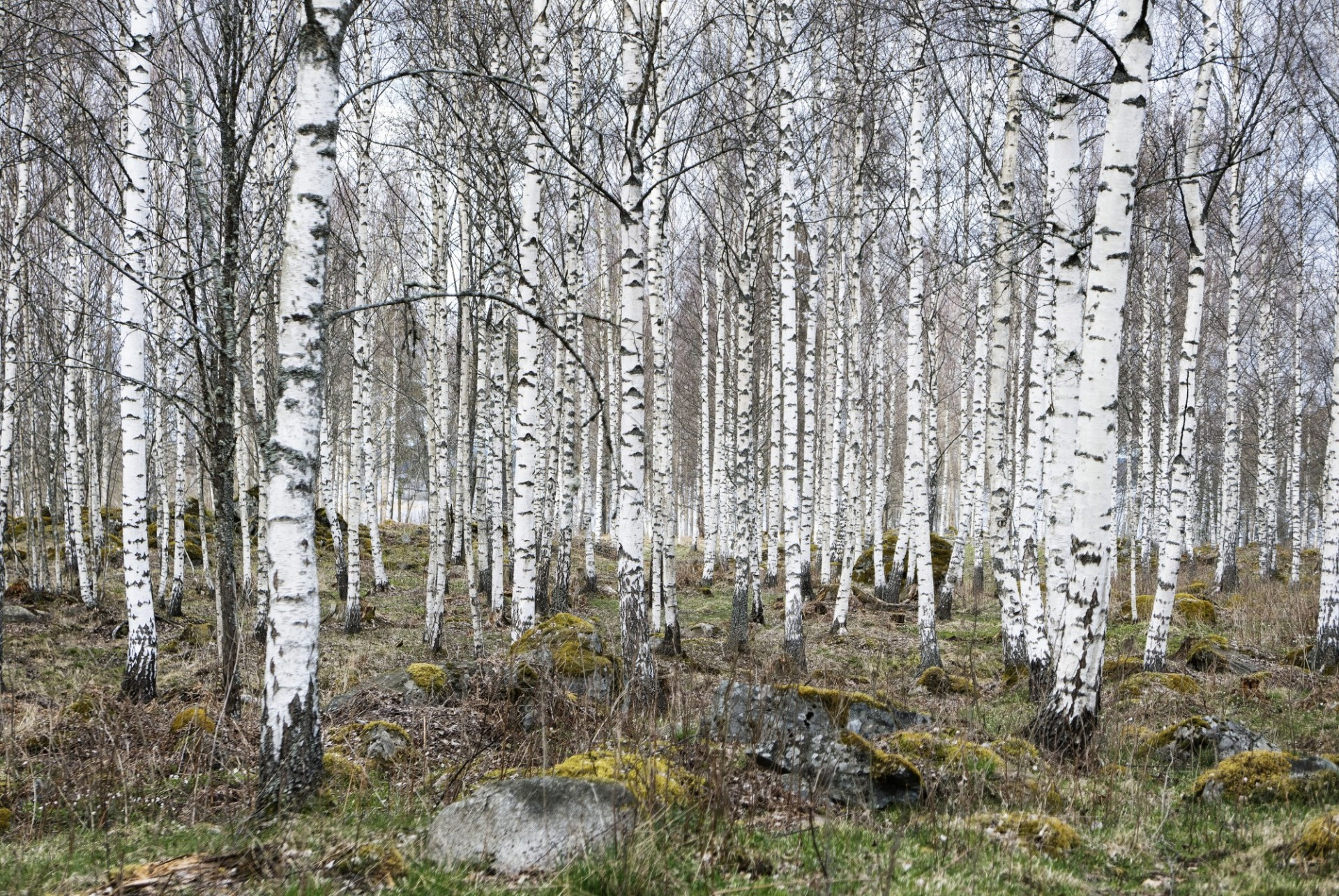 Birches by Ulf Lundin